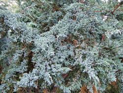 Juniperus_squamata